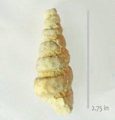 Gastropod Cassiope branneri .JPG