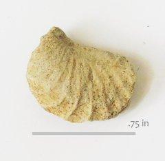 Bivalve Trigonia thoracica.JPG