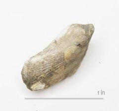 Bivalve Mytilus hugoensis