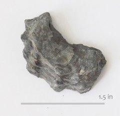 Oyster Peilinia crenulimargo