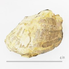 Oyster Exogyra guadalupae
