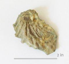 Oyster Ceratostrean hilli