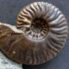 Unknown Clymenia Nautiloid From Morocco - last post by Ludwigia