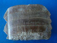 Miliobatis Dixoni gigante! Paleoceno.Houribda.Marruecos.jpg