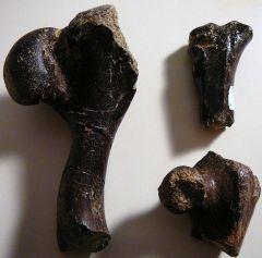 Turtle leg bones