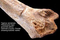 tapir radius cut-marks