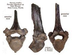 entelodont vertebra