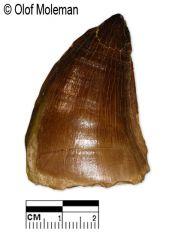 Prognathodon sp. Tooth