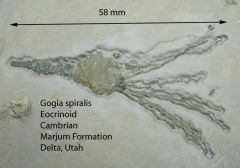 Gogia spiralis