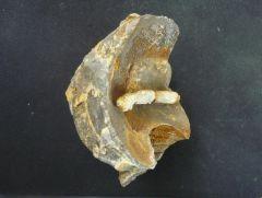 Phragmocone with Sipho from Cenoceras sp.