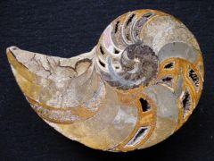 Cenoceras intermedius (Sowerby 1816)