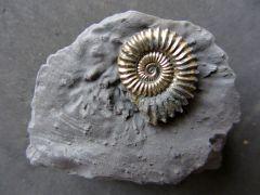 Polymorphites bronni (Roemer 1836)