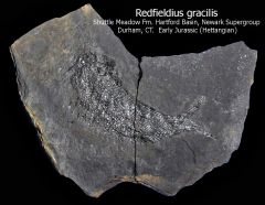 Redfieldius gracilis