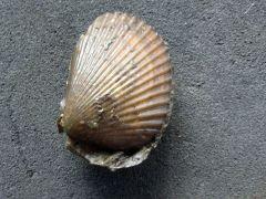Pseudolimea duplicata (Sowerby 1827)