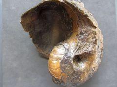 Cenoceras sp. (Hyatt 1884)
