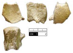 Mosasaur Tail Vertabra