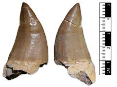 Mosasaurus sp. tooth