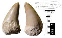 Platecarpus ptychodon Tooth