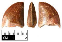 Carcharodontosaurus saharicus tooth