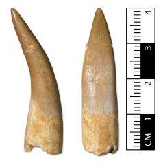 Zarafasaura oceanis tooth