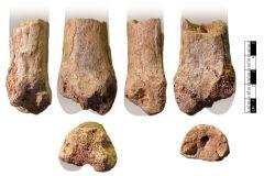 Dinosaur metatarsus