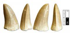 Mosasaurus cf. hoffmanni tooth