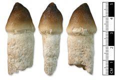 Globidens sp. tooth
