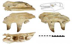 Prognathodon sp. Pterygoid