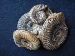 Grammoceras thoarsense (D'Orbigny 1843)