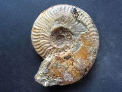 Leioceras comptocostosum (Chandler & Callomon 2009) var. subfalcatum