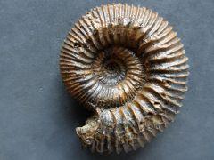 Stephanoceras (Normannites) sp. (Munier-Chalmas 1892)