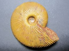 Macrocepalites madagascariensis (Lemoine 1910)