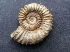Tmetoceras scissum (Spath 1865)