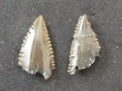 Carcharocles auriculatus (De Blainville 1818)