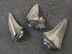 Odotus obliquus ? (Agassiz 1843)