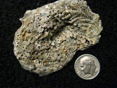 Gryphea Oyster, Lower Cretaceous, Comanche/Walnut Facies, Scurry, Co., Tx