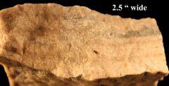 Ord Labechia Sp stromatoporoid