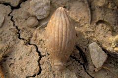Balanocidaris spine