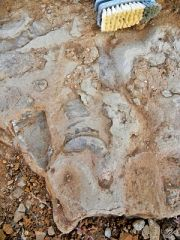 Huge Concretion with many large fossils embedded