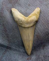 Large Cosmopolitodus Anterior