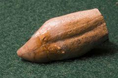 Allodesmus Molar