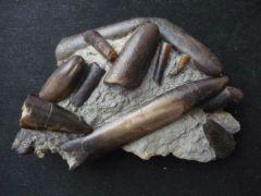 Dactyloteuthis incurvata (Zieten 1831)