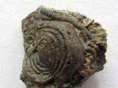 Leptaena rugosa (Dalman 1828)