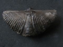 Mucrospirifer mucronatus (Conrad 1841)