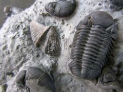 Spinocyrta granulosa (Conrad 1839)