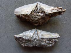 Syringothyris cf. elongata (North 1920)