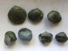 Various brachiopoda