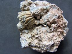Orthorhynchia ?bidwellensis (Bolton 1957)