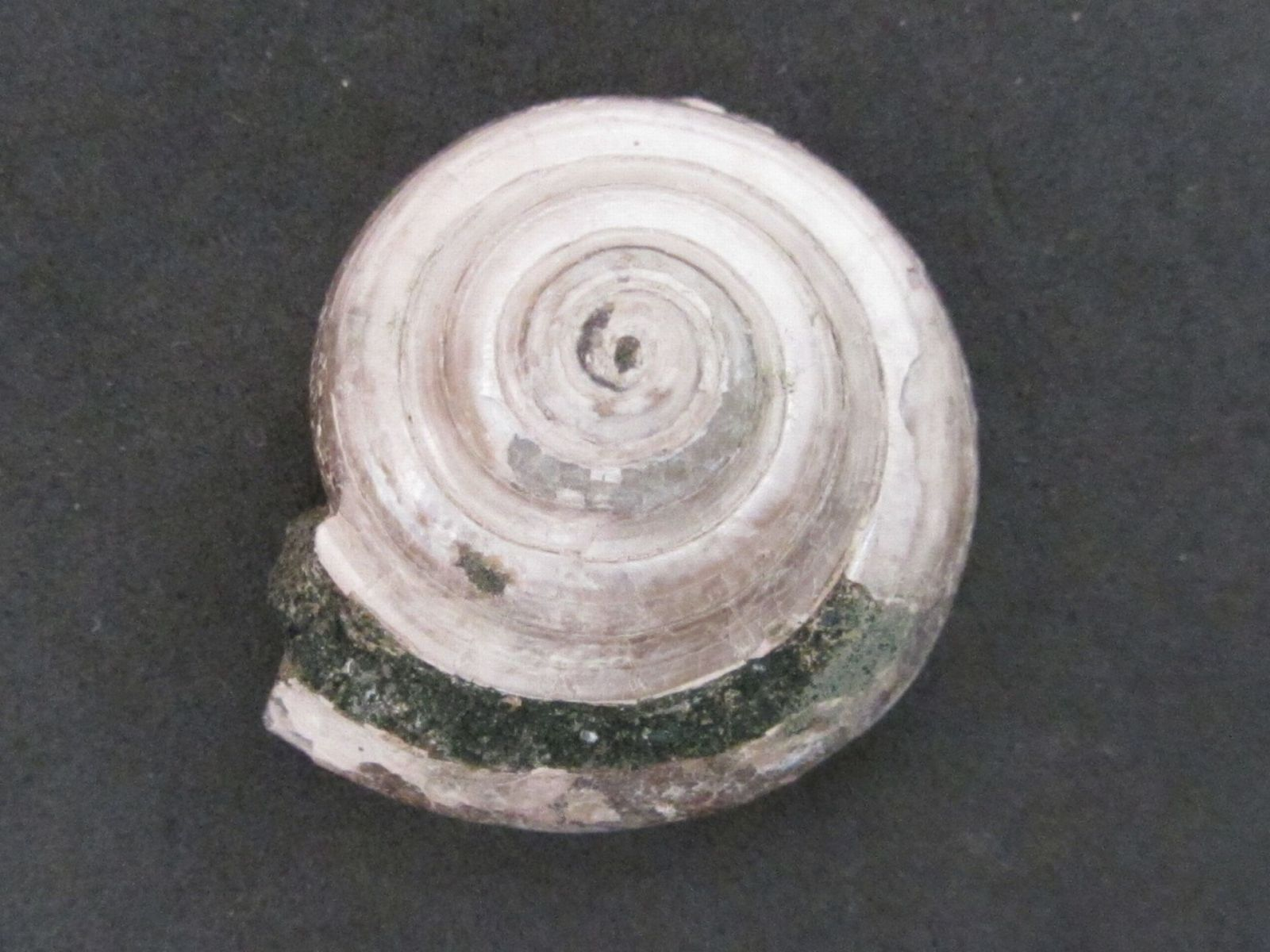 Conotomaria kroisbachensis (Traub)