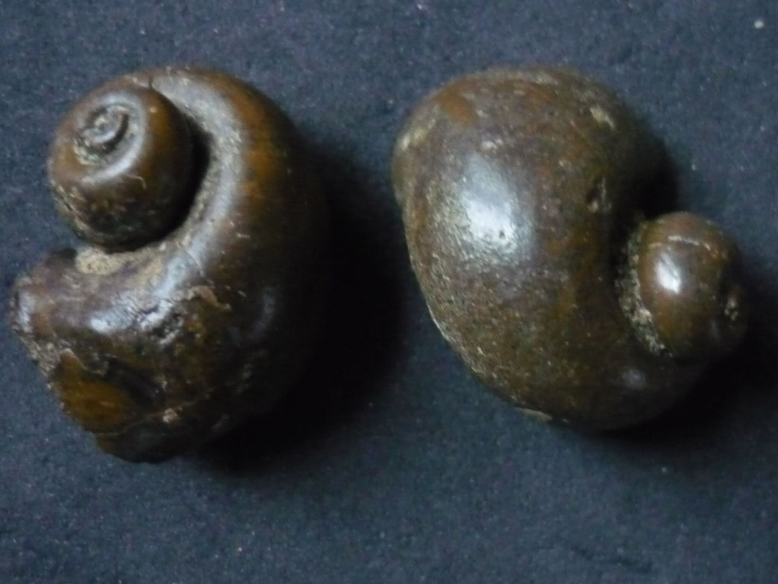 Ampullina (Globularia) sigaretina (Lamarck 1804)